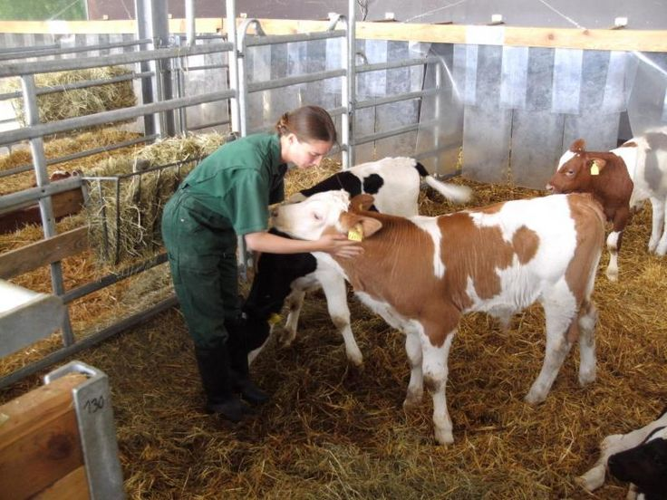 Stroking helps calves develop a better relationship with humans and increases weight gain