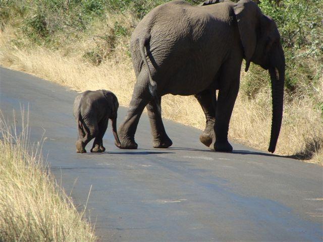 Elephant in Hluhluwe-Imfolozi