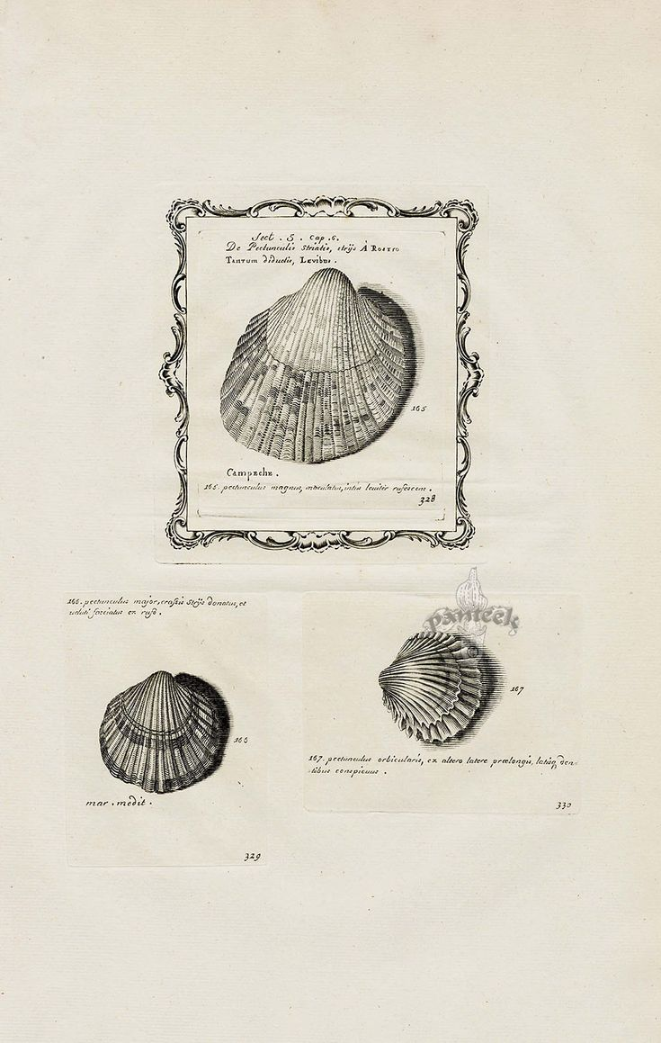 from Martini Lister Conchyliorum Shell Prints 1770