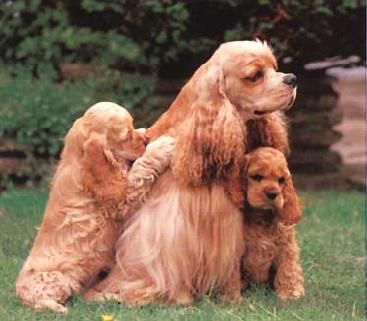 Cocker Spaniels.  Cutest doggies ev-ah!