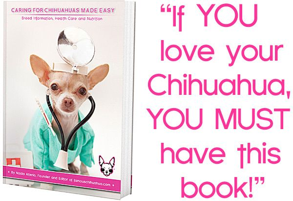 Symptoms And Signs Of A Sick Chihuahua Know When To See A