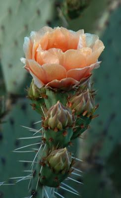 Arizona desert in bloom, Opuntia                                                                                                                                                                                 More