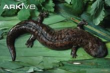 The Chinese giant salamander (Andrias davidianus) is the largest salamander in the world, and is fully aquatic, with many adaptations for this lifestyle. It grows up to 1.8 metres in length.  Critically endangered.