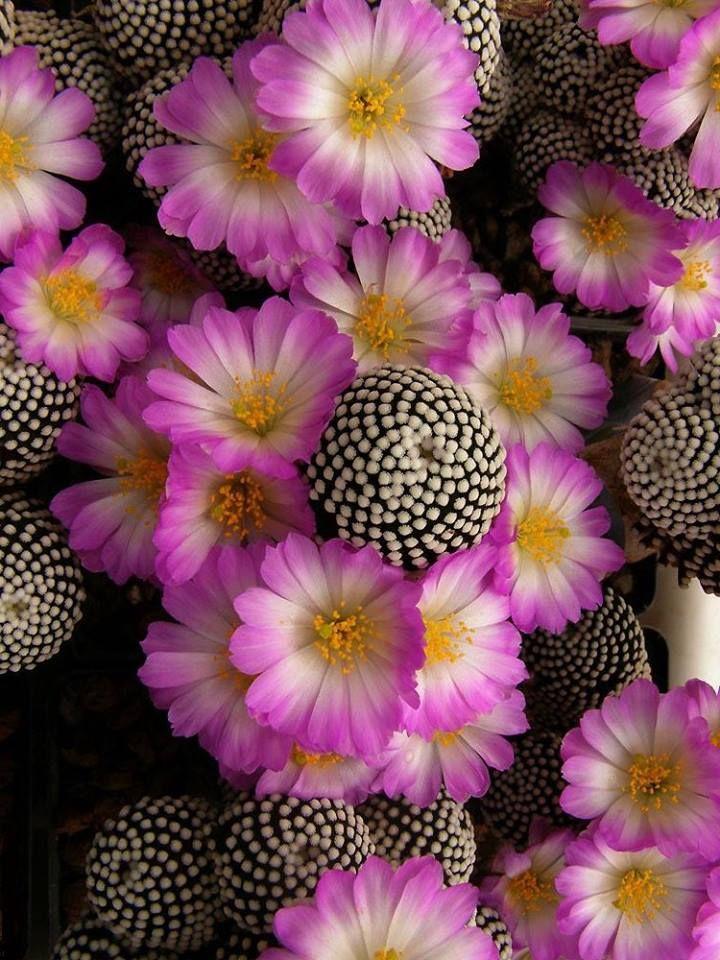 Mammillaria luethyi - Fique a conhecer as nossas dicas de jardinagem em: www.asenhoradomonte.com