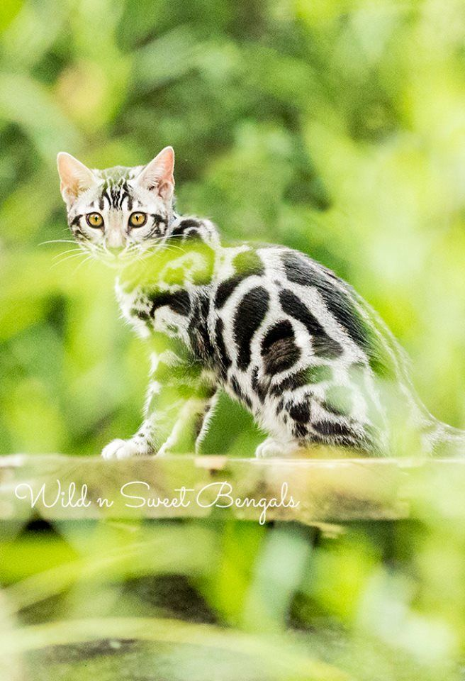 Silver Bengal Kitten In Nature See Our Other Gorgeous Bengal Cats