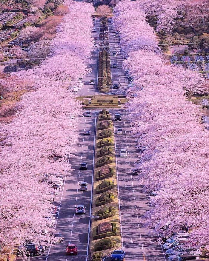 Cherry Blossom Road In Shizuoka Japan Japan Photo Vacation Trips Japan