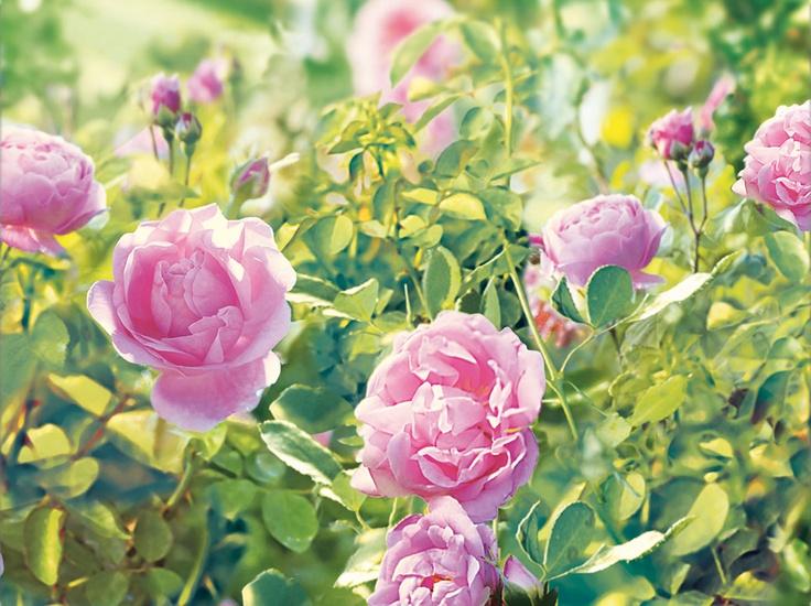 Rosas frescas.Todo el frescor y la delicadeza del perfume de las flores recién abiertas