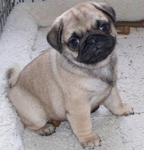 I am gonna have a baby pug and have him/her for the rest of my life :) It's name will be mocha :)