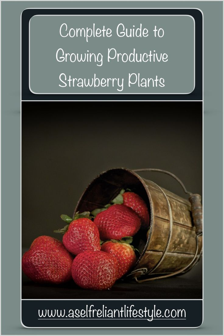 Best strawberries to grow in texas - Growing Strawberry Plants Planting Strawberry Plants Caring For Strawberry Plants Harvesting Strawberry Plants