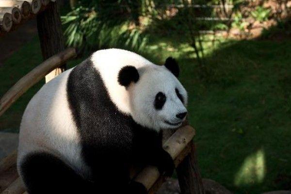 Feng-Yi, uno de los dos pandas gigantes en préstamo de China en el Complejo Gigante de Pandas del zoológico nacional de Kuala Lumpur, el 25 de junio de 2014