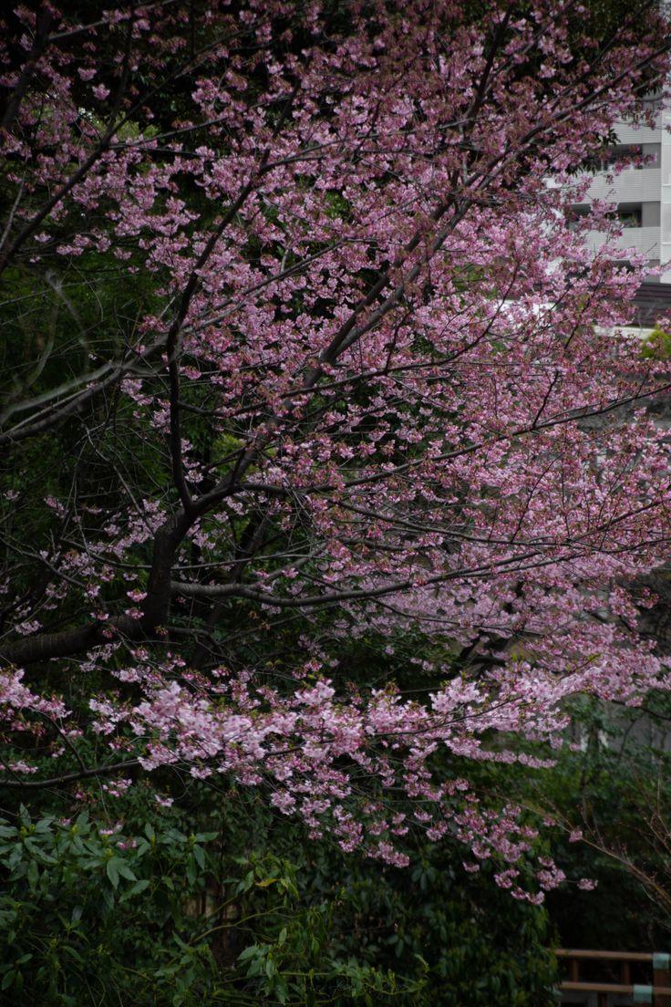 Chasing Cherry Blossoms In Japan Annie Fairfax Cherry Blossom Japan Cool Landscapes Cherry Blossom
