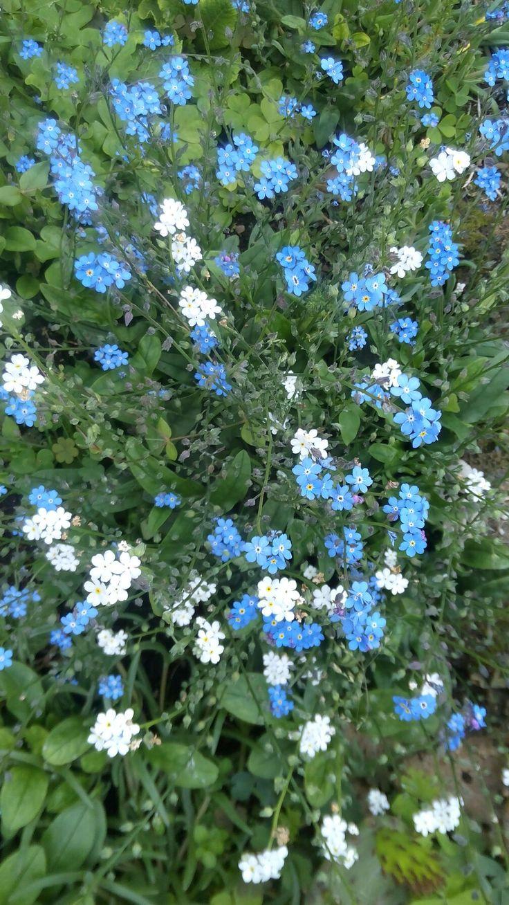 I non ti scordare di me  Un mese dopo rispetto all'anno scorso... Ma non si sono dimenticati di fiorire  #scordar di #me  #nontiscordardime #fiori #flowers #azzurro #blue #bianchi #white #nature #natura #naturephoto #gardening #giardino #estrerno #outdoors #forgetmenot #iloveflowers #spring #italy #flowering