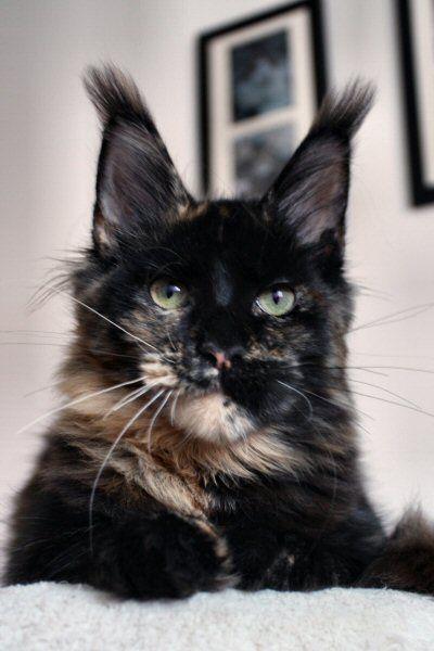 #MaineCoon #Black #Torti #Solid #Cats Elphinstone Zarina