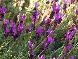 O gênero Lavandula compreende um grupo de plantas floríferas, herbáceas ou subarbustivas, que podem ser anuais ou perenes. As espécies mais cultivadas são a lavanda-inglesa ...