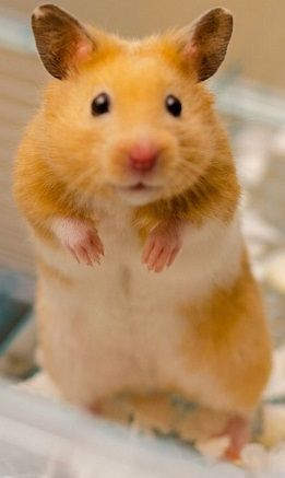 Pin On Pet Hamster Images