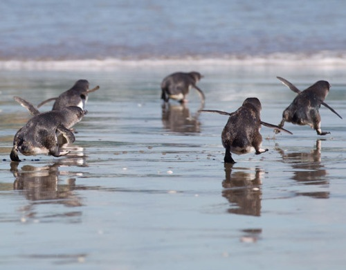 Blue penguins running to the sea after being released by wildlife workers in Tauranga. They were released after the beaches were reopened after the oil spill.