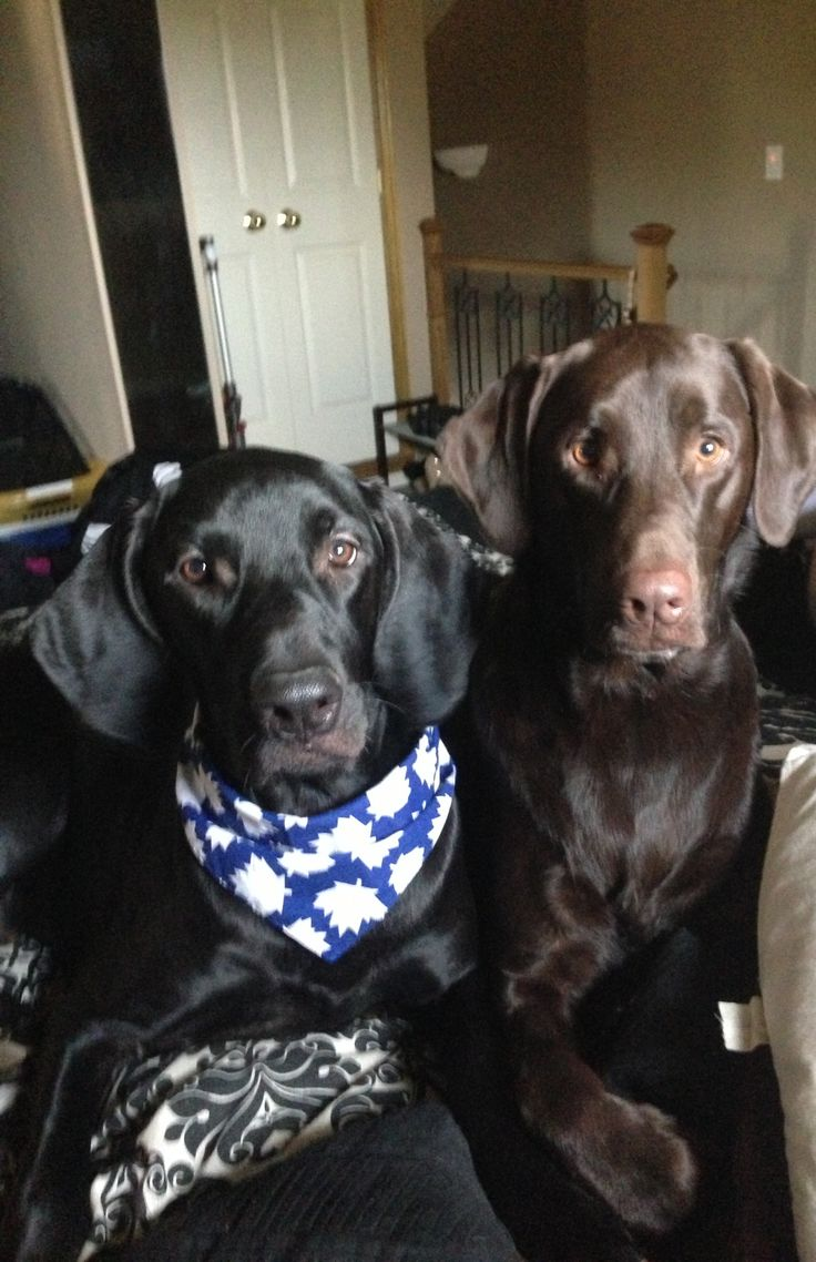 My Boys Chocolate Lab Amp Plott Hound Mix Puppies