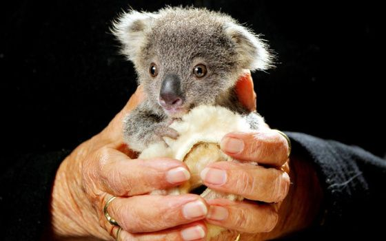 """""""Orphaned four-month-old koala joey Squeaky is cared for at Port Macquarie Koala Hospital, New South Wales, Australia. He was found whimpering in his mother's pouch after she was struck by a car on the Oxley Highway two weeks ago. He's a very quiet little fella, but he's doing OK, hospital supervisor Cheyne Flanagan said. He just clings to a little sheepskin roll that mimics his mummy."""""""