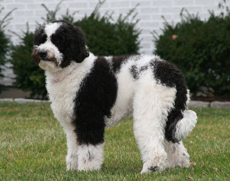 Black and white labradoodle