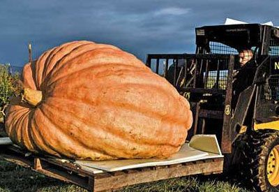 So here's what we've found out about growing giant pumpkins. The best part: much of what we've learned applies to growing good pie pumpkins as well.