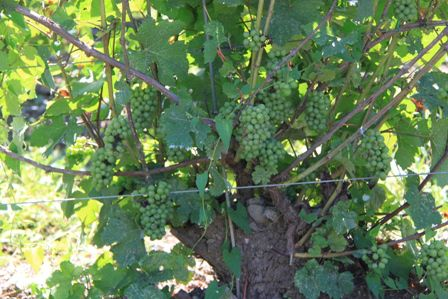 Old vines with grapes