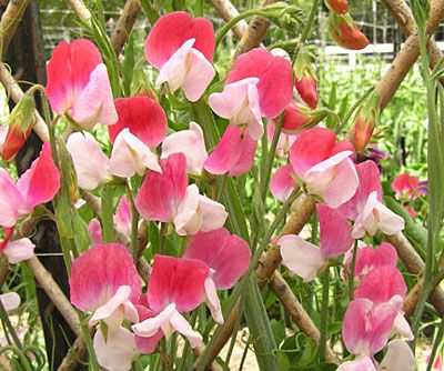 Sweet Peas!  Great for hiding an ugly chain link fence and so easy to grow.  They smell great and you can cut and bring them indoors.