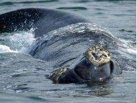 Zuid-Afrika reizen - Walvissen spotten in Hermanus