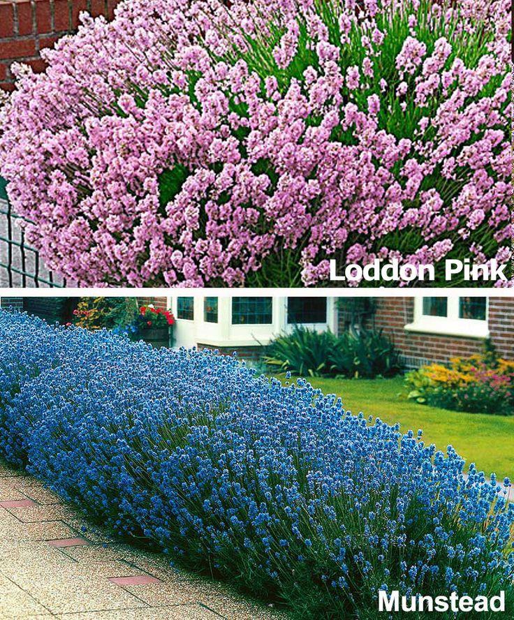 Fragrant Flowering Lavender Collection | Plants from Bakker Spalding Garden Company (Evergreen) (ground-cover)