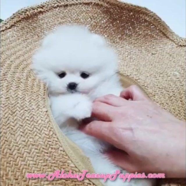 Little Teddy Bear Face Pomeranian Follow Aloha Teacup Puppies