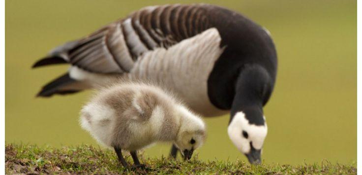 C'est un rite de passage impressionnant. Pour rejoindre leurs parents et survivre, les oisons doivent se jeter dans le vide depuis leur nid situé sur une falaise rocheuse du Groenland.