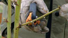 Brombeeren schneiden | Bild: BR