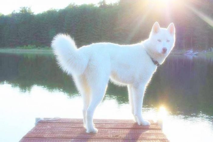 Snow Dog Puppies For Sale