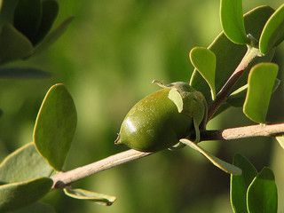 #Jojoba oil provides protection from #moisture loss and prevents #acne at the same time! #natural #skincare