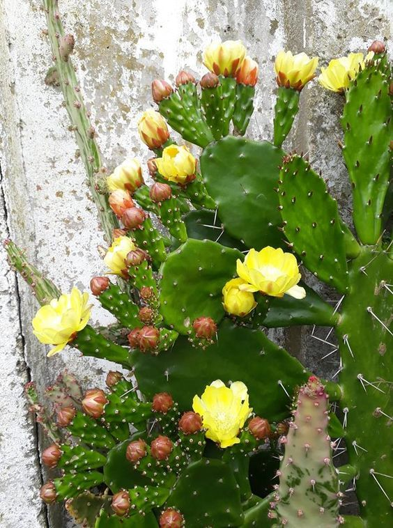 Opuntia phaeacantha Tulip Prickly Pear Cactus Seeds 20+Seeds