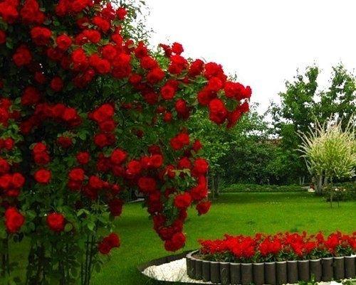 6 ошибок выращивания роз в саду - Садоводка