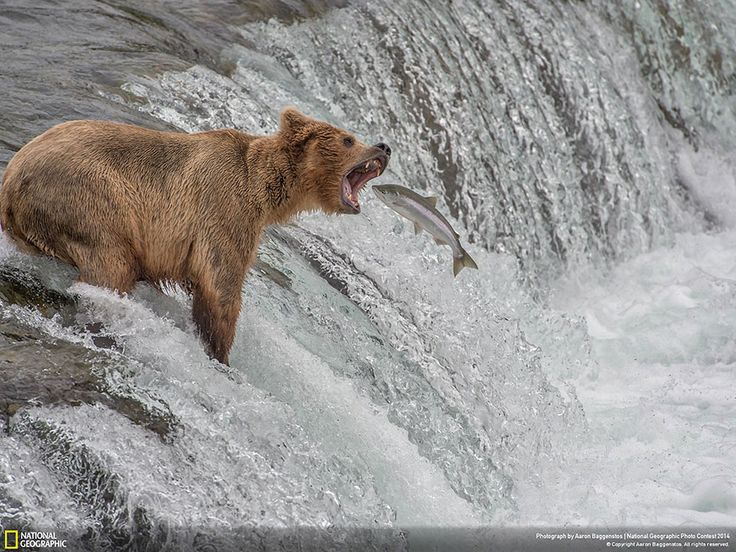 Catch of the Decade (Katmai National Park, Alaska, USA, Nature Category) Bear national-geographic-photo-contest-2014-photography-19