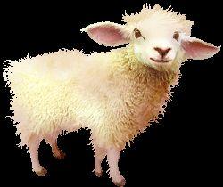 овца.gif