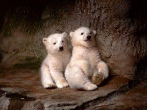 Polar bear cubs make their debut in the Netherlands