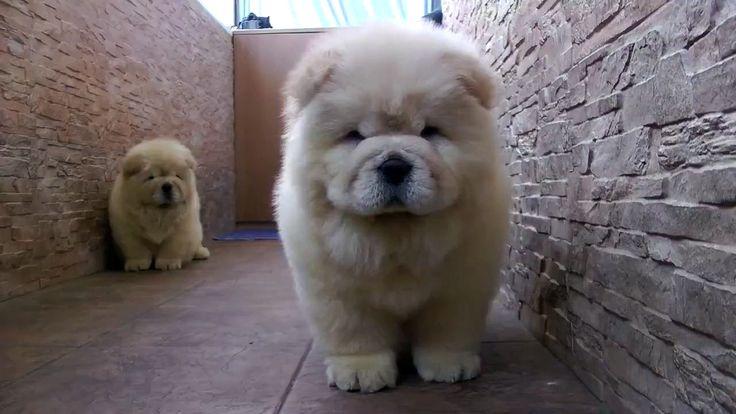 Cachorros chow chow