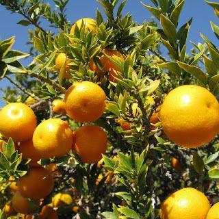 Stella Crown Elixirs: πορτοκάλι, ο χρυσός καρπός (orange, Citrus sinensis)  #herbs #fruits #flower_waters #essentialoils #vegan #vitaminC #antioxidant #anti_inflammatory #natural_collagen #antiaging #glowandshine #antiseptic #antibacterial #healthyliving #naturalbeauty #natural_cosmetics #beauty_elixirs #recipeshare #recipeideas #beautyblog #iasis #anaplasis #recipeblog #φυσικά_καλλυντικά #stella_crown