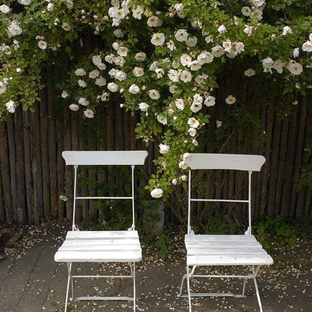 - Venustra Pendula - From Jette's garden #venustrapendula #jettesgarden #gardenvisits #roses #antiqueroses #garden #gardening #jettefrölich #jettefroelich #danishdesign #gardendesign