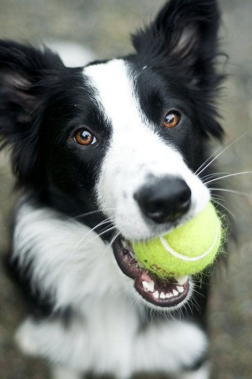 A happy border collie with her tennis ball.