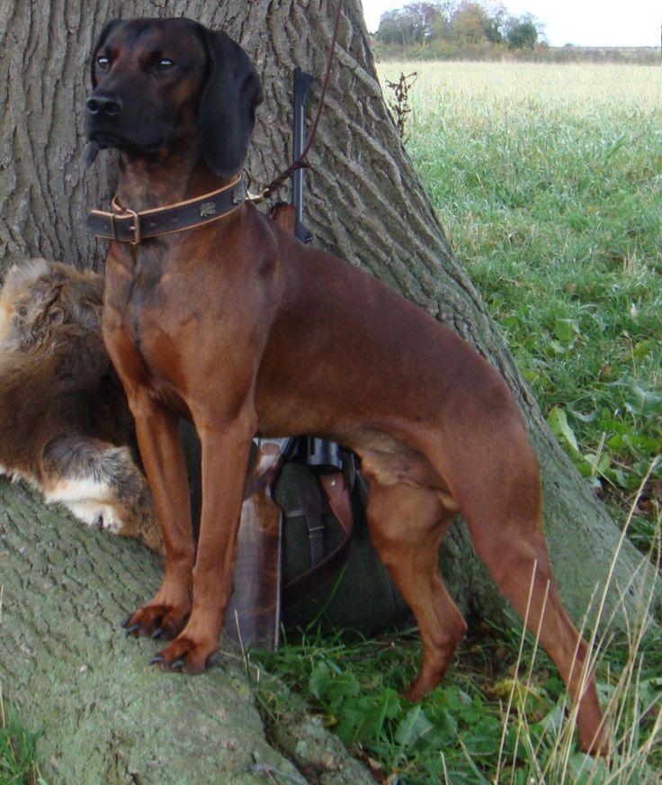 Bavarian Mountain Hound #Dogs #Puppy