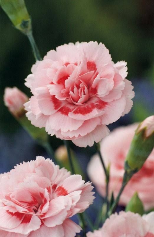 Pink Carnation (Dianthus Caryophyllus) - I will never forget you