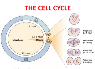cell cycle: chromatin condenses into discrete threads; each chromosome compacts even further ... the water cycle diagram pdf the cell cycle diagram quizlet