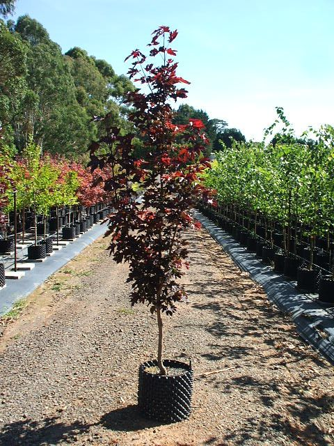 Acer Platanoides Crimson Sentry Or Norway Maple Has An Upright Compact Habit With Purple Foliage Turning Golden Brown In Autumn