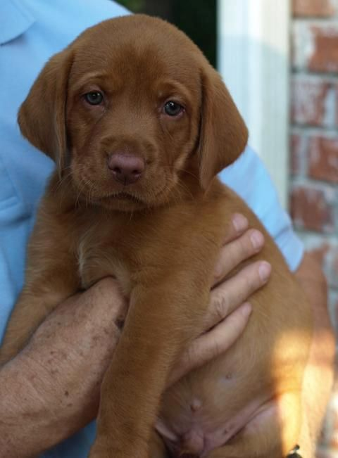 Big Dog Ranch: Fox Red Lab puppy- green eyes and liver nose...beautiful!