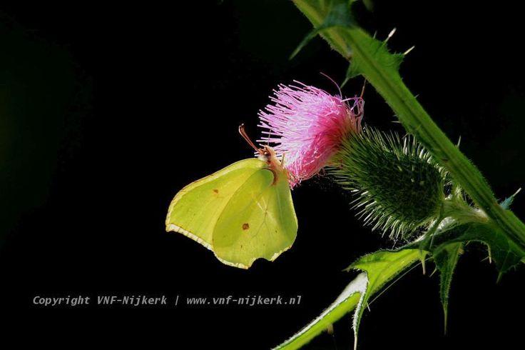 Deze prachtige #citroenvlinder is een van de beelden in de nieuwe #maandselectie  http://bit.ly/1iq5r84  #VNFNijkerk