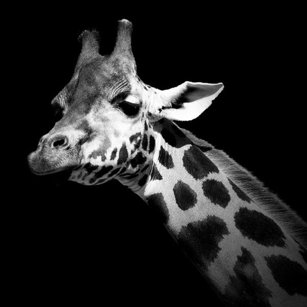 Breathtaking Black & White Animal Portraits by Lukas Holas - My Modern Met