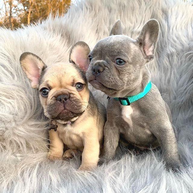 ¿Eres uno de los amantes del Pug o el Bulldog Francés? Si tu …   – tiere/animals